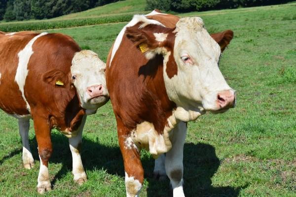 cow-4469904_1280